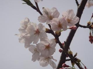 桜アップ.JPG