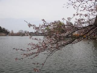水辺の桜.JPG
